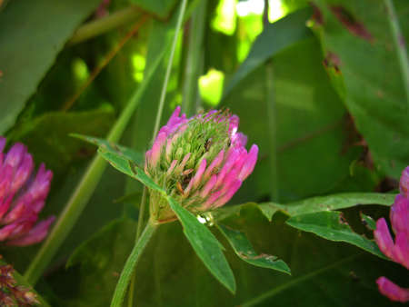 beatuful: There are pink flowers of  clover and green grass