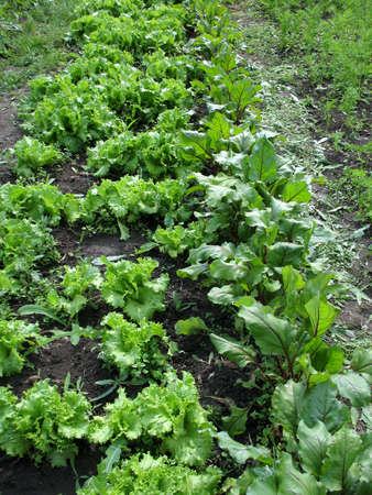 truck crops: This is spring young sprout of truck crops plant Stock Photo
