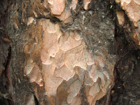 pinetree: This is structure of  bark of a pinetree. Closeup