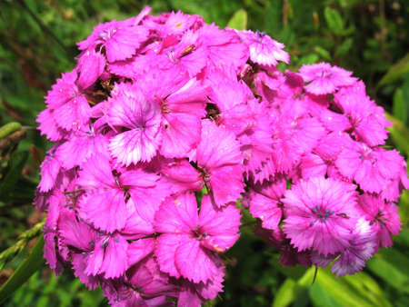 beatuful: There are pink flowers  of phlox and green grass