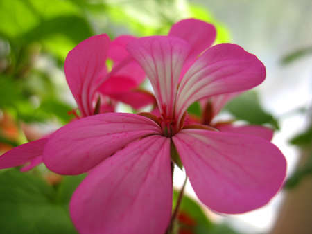beatuful: There are pink flowers of geranium and green grass
