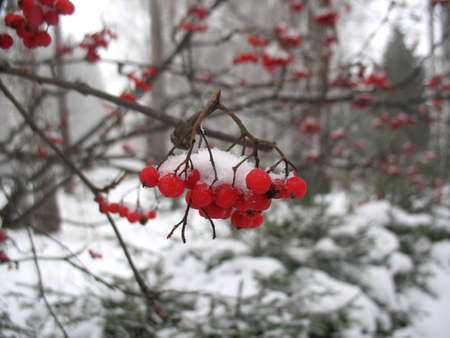 snowcovered: There are service tree and snowcovered red berries