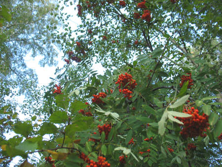 tree service: There are service tree and  red berries
