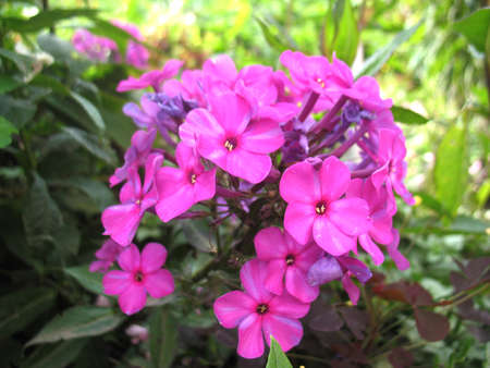 beatuful: There are pink flowers of phlox and green grass Stock Photo