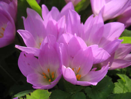 beatuful: There are pink flowers (crocus) and green grass