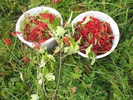 guelderrose: There are red berries of guelder-rose in  buckets and green grass Stock Photo