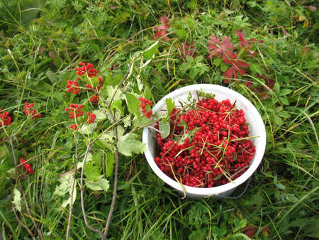 guelder rose berry: There are red berries of guelder-rose in white  bucket and green grass