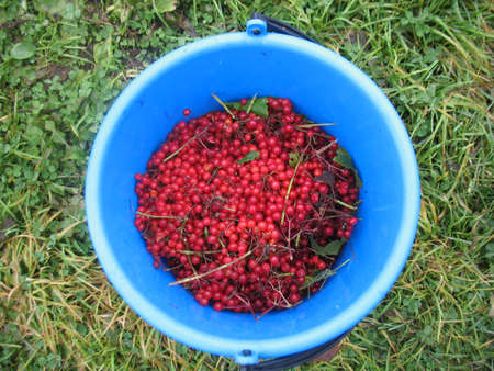 guelder rose berry: There are red berries of guelder-rose in blue bucket and green grass Stock Photo