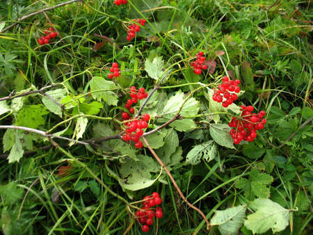 guelderrose: There are red berries of guelder-rose on green grass