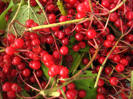 sour grass: There are red berries of guelder-rose