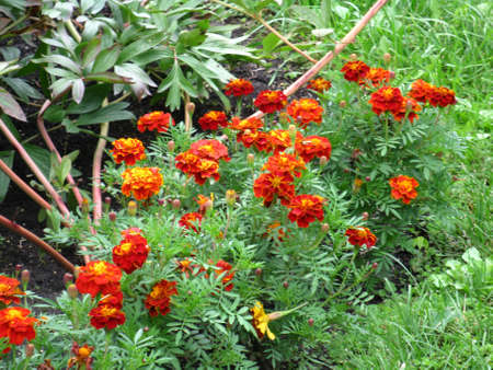 There are orange flowers  og marigolds and green grass Stock Photo