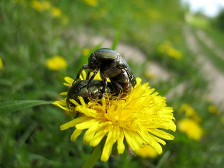 copulation: There are couple of insect and plant. Copulation. Stock Photo