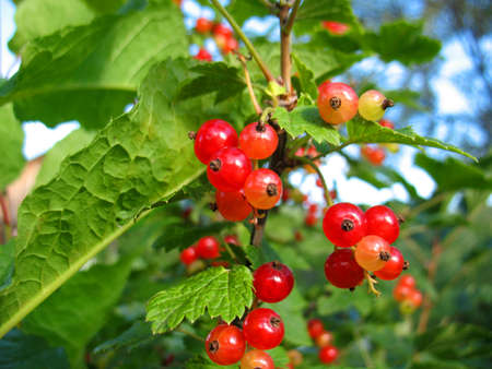 There are red berries of currants Stock Photo