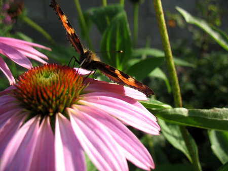 There are insect and plant. The insect (butterfly) on flower. Фото со стока