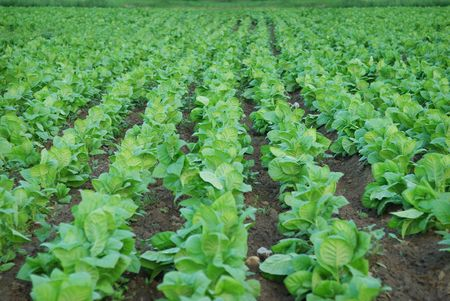 green background  of tobacco plantation. agriculture plant Stock Photo