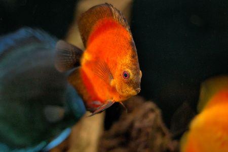 diskus: orange diskus in the aquarium Stock Photo