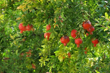 pomegranate juice: pomegranate on tree in a farm garden. fresh fruits Stock Photo