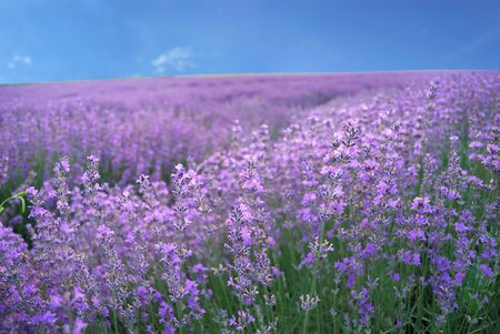 plant medicine: lavender field Stock Photo