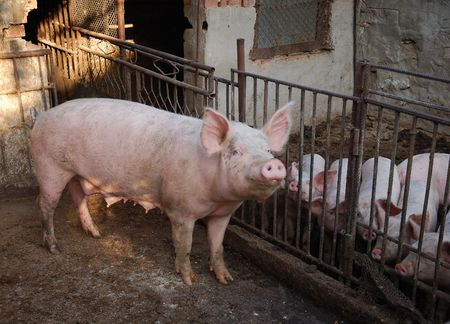 epidemic: Pigs  on farm, dirty swine Stock Photo
