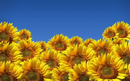 agruculture: Sunflowers  isolated on sky. agruculture plant