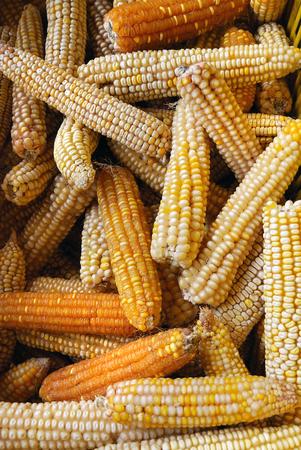 sweetcorn: Group of dry sweetcorn. real bio food seeds Stock Photo