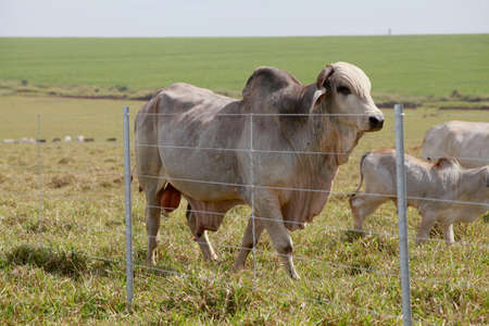 brahman: brahman bull in the field with fence Stock Photo