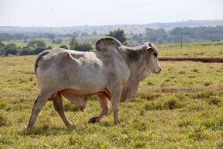 brahman:  large white brahman bull in the field