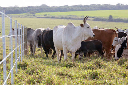 brahman: cattle in the field with fence