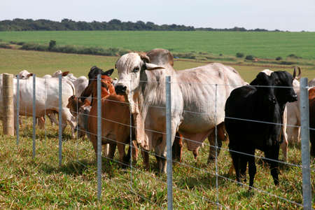 cattle wire wires: brahman bull and cows in the field with fence