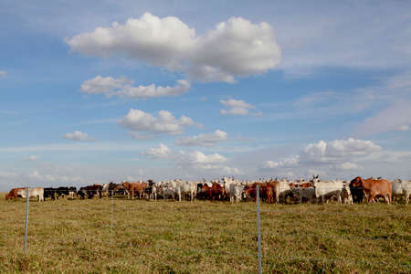 cattle wire: cattle in the field with fence