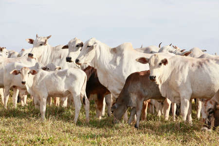 brahman: white cattle on farmland, brazil