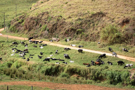 cows feeeding on farm inside brazil Imagens
