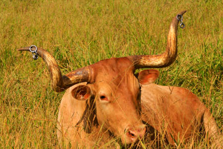 bovine with long horn on grass photo