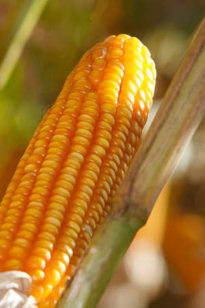 corn plantation for industrial use photo