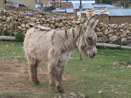donkey in copacabana, titicaca lake, border of bolivia and peru                                photo