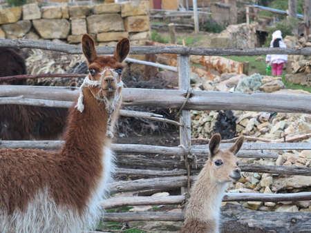 Ilama, typical animal of andes in copacabana, titicaca lake, border of bolivia and peru                                photo