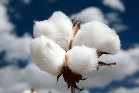 cotton plantation in contrast with blue sky and clouds