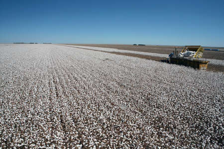 cotton plantation for industrial use