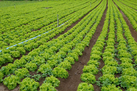 lettuce plantation of familiar agriculture in brazil photo