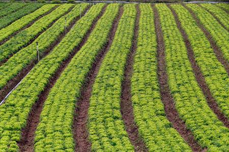 familiar: lettuce plantation of familiar agriculture in brazil