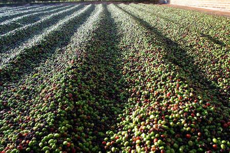 Bohnen Kaffee Trocknen im Boden des brasilianischen Farm Standard-Bild - 37260572