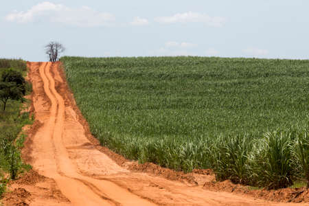 sugar land: View of ground road in the middle of sugar cane plantation, countryside in Brazil