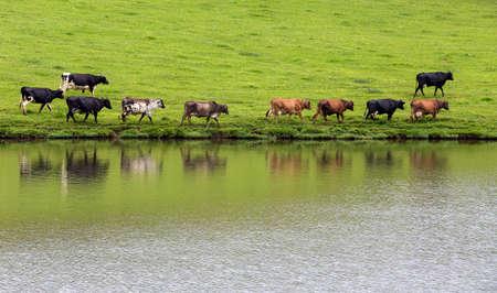 reflex: cows walking in queue with reflex on water
