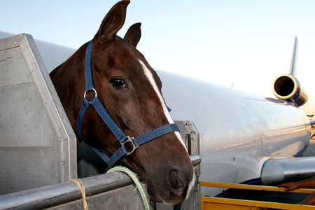 race horse is loading to the airplane to export in sao paulo, brazil Imagens