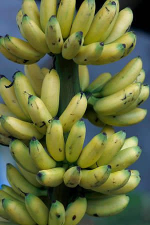 Bunch of banana gold to sale in market