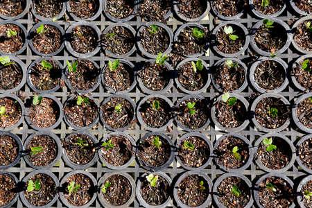 대서양 림의 재배 된 씨앗에 온실로 브라질에서 재조림 스톡 콘텐츠