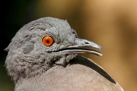 close up of inhambu chitam, Crypturellus tataupa, bird of atlantic forest in Brazil