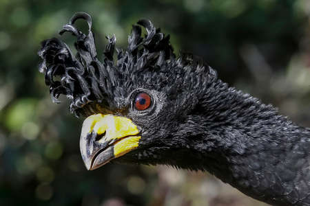 Isolated on blurred background, portrait of pheasant-like bird from rainforest, Great curassow, Crax rubra.  Male with erected crest in atlantic rainforest in Brazil