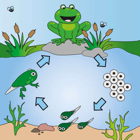 life cycle of frog photo