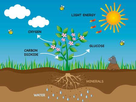 photosynthesis in plant Zdjęcie Seryjne - 26895942